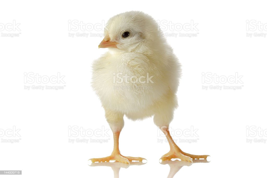 Cute little baby chicken royalty-free stock photo