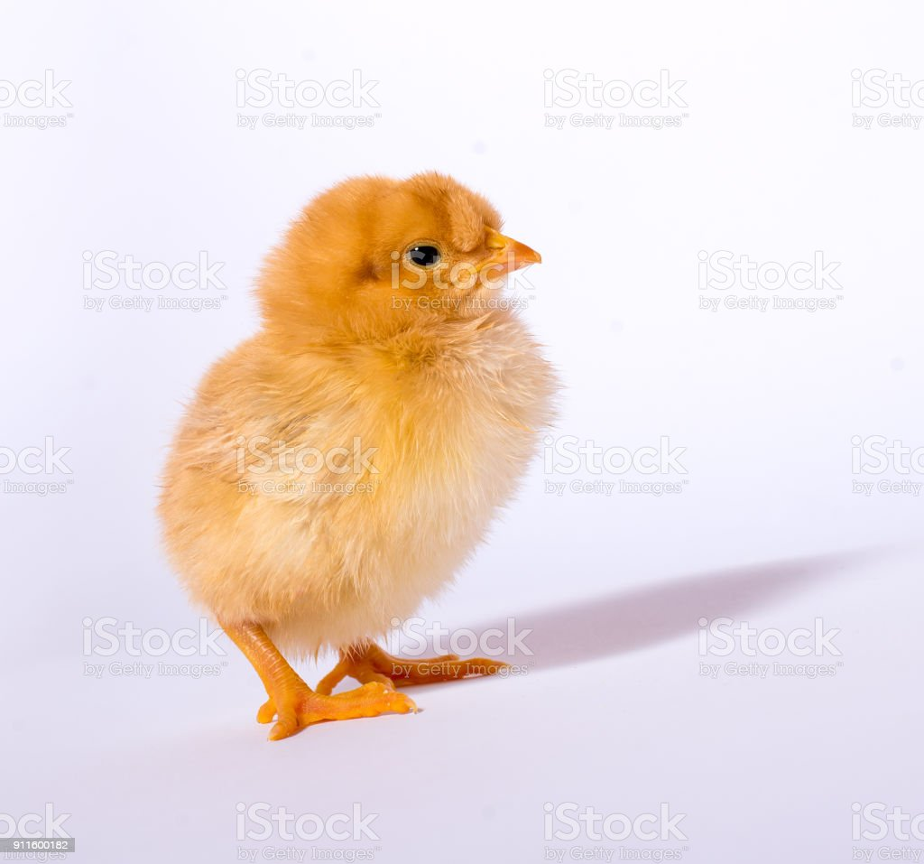 Cute little baby chicken stock photo