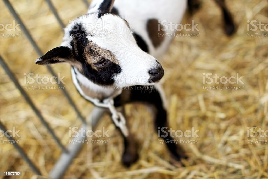 Cute little baby goat a fair royalty-free stock photo