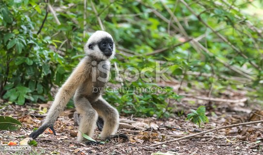 Cute little baby White-cheeked gibbon playing on the ground