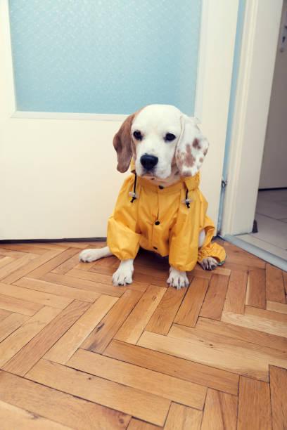 Cute little beagle dog with yellow raincoat waiting for a walk focus picture id1200771189?b=1&k=6&m=1200771189&s=612x612&w=0&h=zyb2lslkdsdgiwetbfacigesp5ynckcn488dft41zzq=