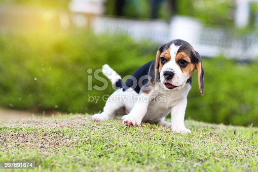 Cute little Beagle playing alone in garden
