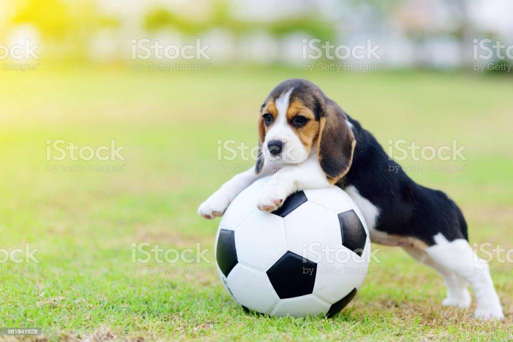 Cute little Beagle with football stock photo