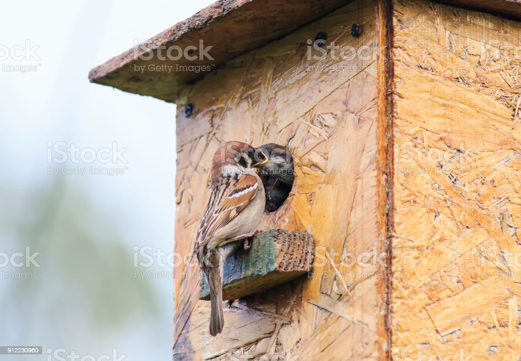 cute little bird, a Sparrow flew in your house and feeds the hungry bird stock photo