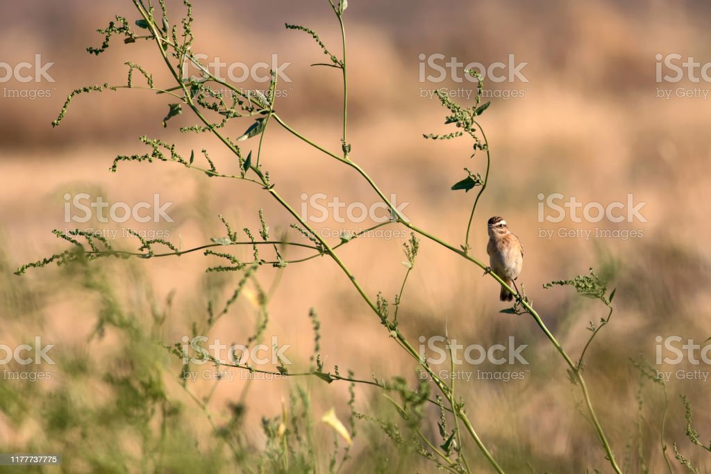 Cute Little Bird Stonechat Yellow Nature Habitat Background Stock