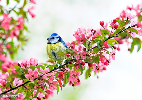 istock cute little bird tit sitting on an Apple tree branch with bright pink flowers in spring garden 1069252290