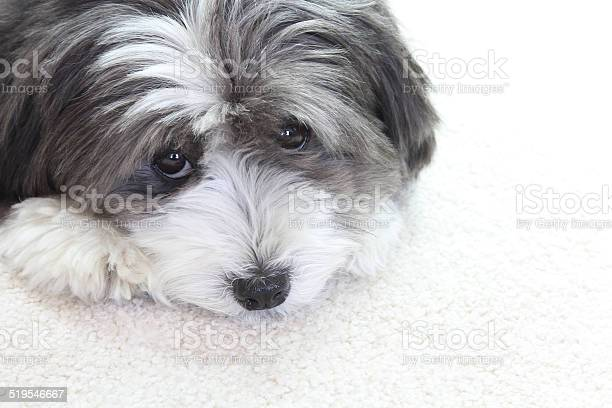 Cute little black and white long haired dog picture id519546667?b=1&k=6&m=519546667&s=612x612&h=muvdxiyq5qn41ypt1py2zbnh4aowp18ih2shyy6wlem=