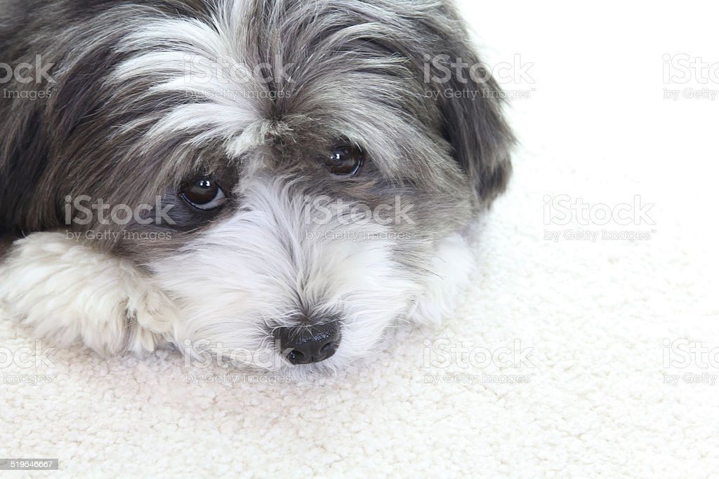 Cute little black and white long haired dog. stock photo