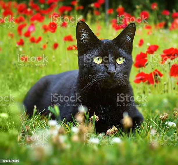 Cute little black kitten lying in the grass picture id480923008?b=1&k=6&m=480923008&s=612x612&h=szlelpmc4uidpgmm8edjrgm8tgslb1afw0zw6fazcfa=