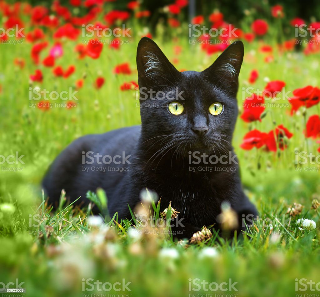 cute little black kitten lying in the grass stock photo