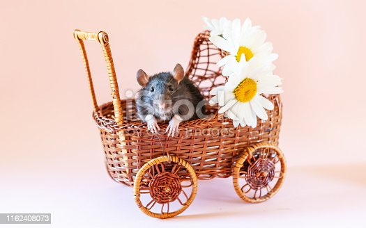 istock Cute little black rat, mouse sits in toy wicker carriage with daisies on pink background. Still life with a live rat. Chinese New Year symbol 1162408073