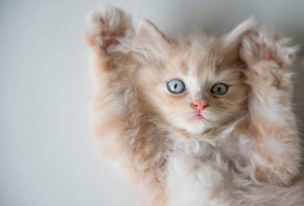 Cute little blue eyes cat lying up on the floor picture id1006673748?b=1&k=6&m=1006673748&s=612x612&w=0&h=uc1bguqghmni6tr5boe2jtlts6flkcbyctv32lntwf4=