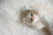 Portrait of little adorable kitten lying on soft sofa and relaxing in sunlight.