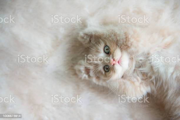 Cute little blue eyes cat lying up on the fur floor picture id1006673914?b=1&k=6&m=1006673914&s=612x612&h=gnqipwpsmmhw9 q5napbg2i940h1gr7v5ioh8vv1 le=