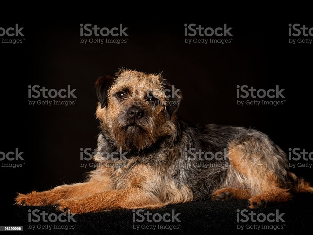 Cute little Border Terrier royalty-free stock photo