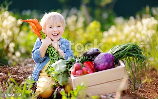 Cute little boy holding a bunch of fresh organic carrots in domestic garden. Healthy family lifestyle. Harvest time