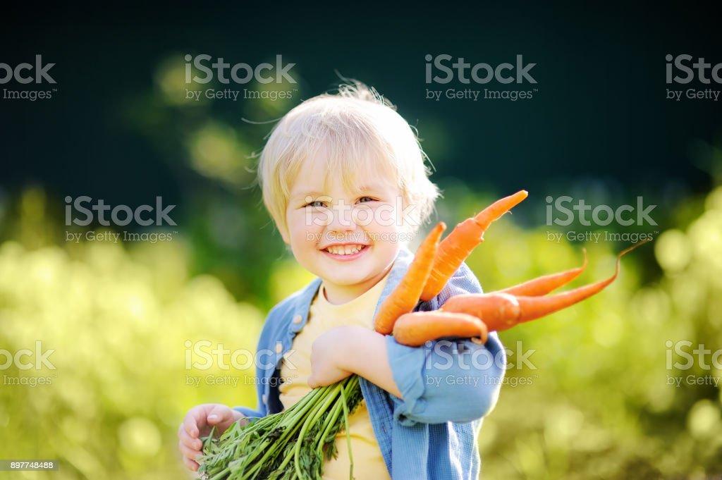 Cute little boy holding a bunch of fresh organic carrots in domestic garden stock photo