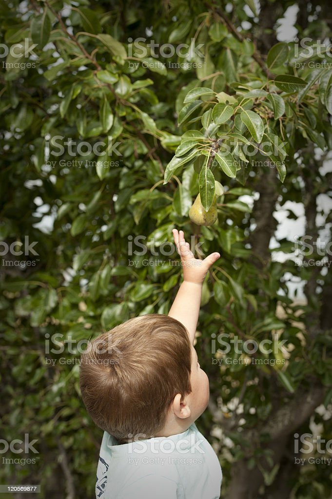 cute little boy picking fruit from tree royalty-free stock photo