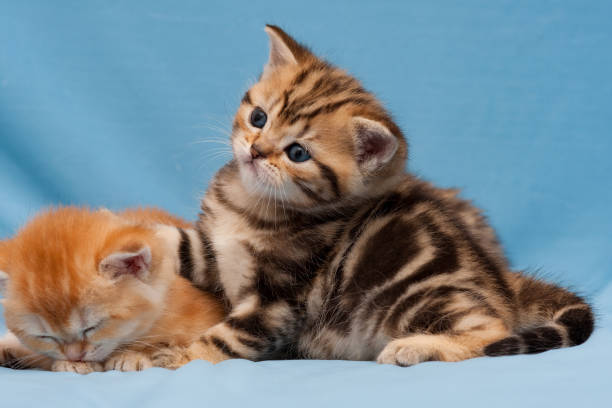 Cute little British kitten Golden marble color close-up stock photo