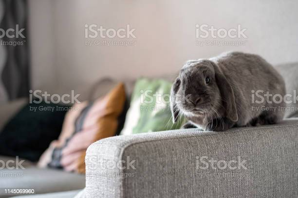 Cute little bunny on the sofa posing to the camera picture id1145069960?b=1&k=6&m=1145069960&s=612x612&h=6wlyx6c9uyv74sp3qnkj5ofcqeye0lxws5absg0firi=