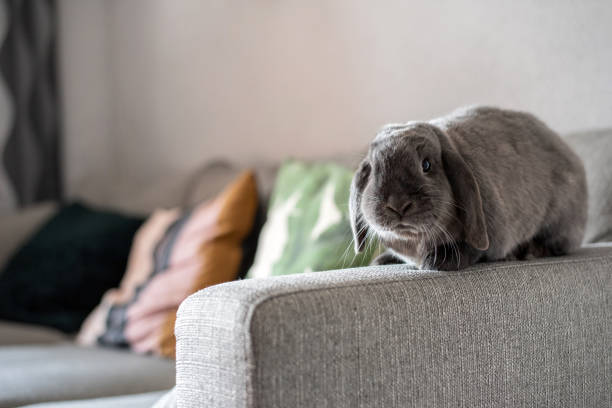 Cute little bunny on the sofa posing to the camera stock photo