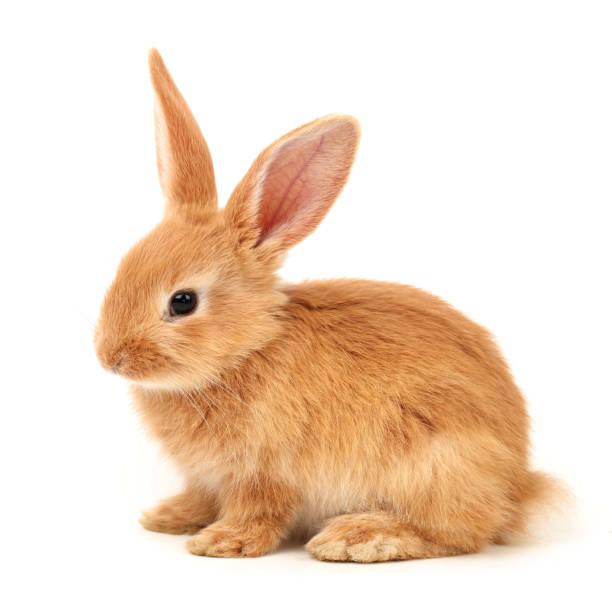 Mignon petit lapin sur fond blanc - Photo