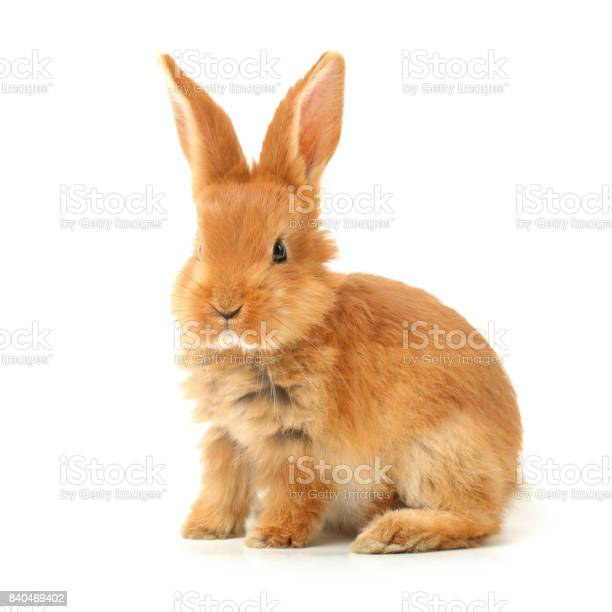 Cute little bunny on white background picture id840469402?b=1&k=6&m=840469402&s=612x612&h=4icth5cuxqlkhcnluwd1itlvjw719ozv0wipw4fpmvc=