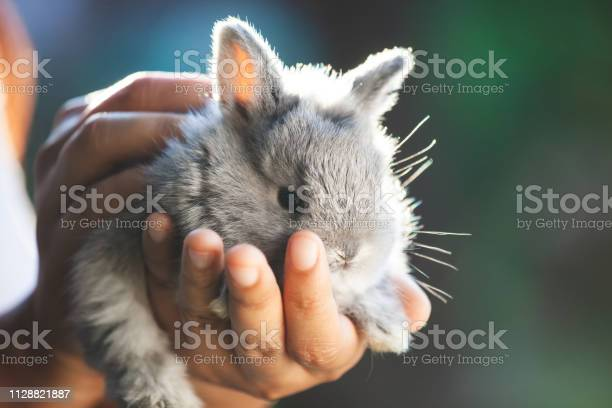 Cute little bunny rabbit in hands picture id1128821887?b=1&k=6&m=1128821887&s=612x612&h=ljmmqjkocu3tbbvwnr3kilbzeztspddondoxmtjyfpe=