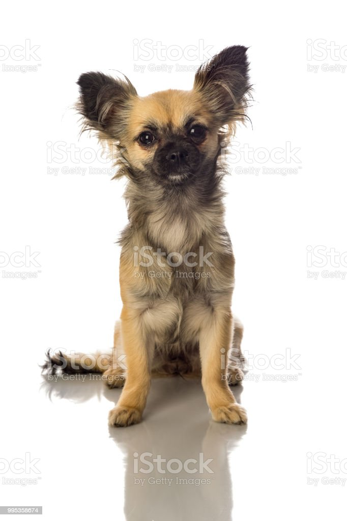 Cute Little Chihuahua Long Haired With Butterfly Ears