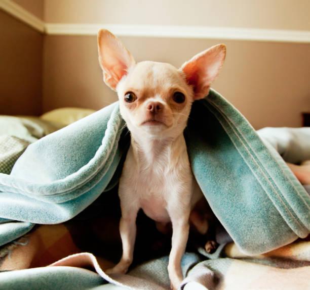 adorable chihuahua looks la caméra sous une couverture - chihuahua chien de race photos et images de collection