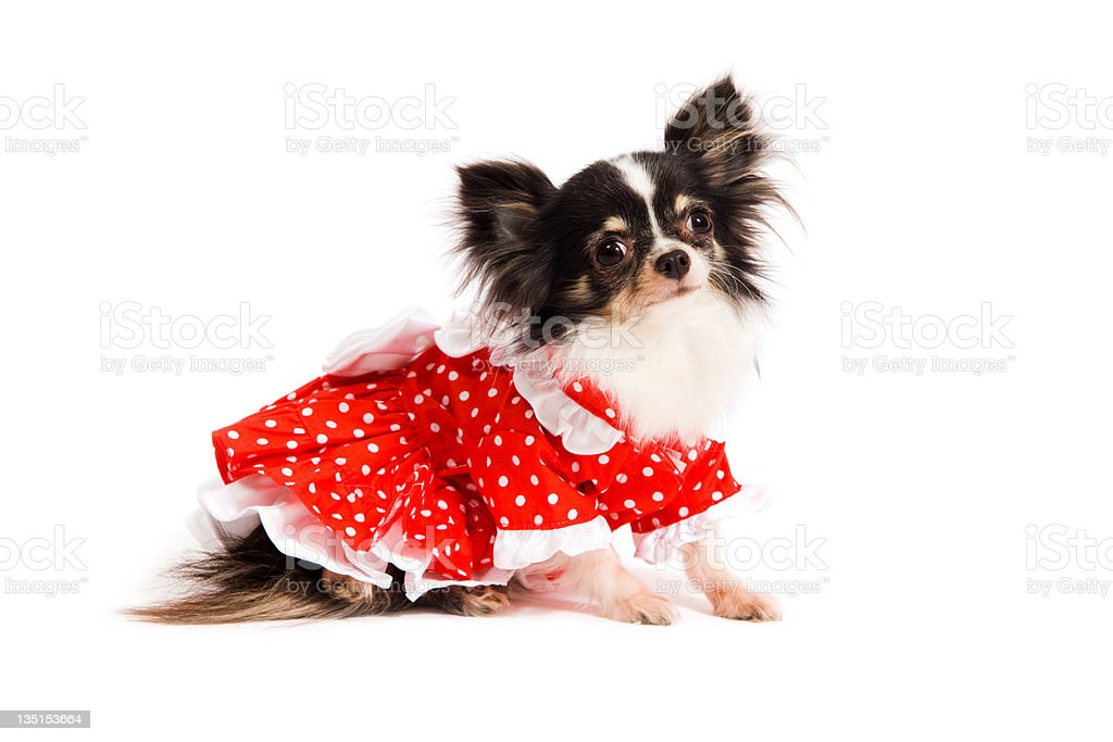 Cute little Chihuahua with fancy dress stock photo