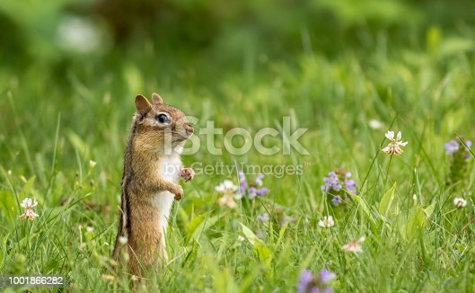 Cute little chipmunk stands in the grass on a sunny summer afternoon
