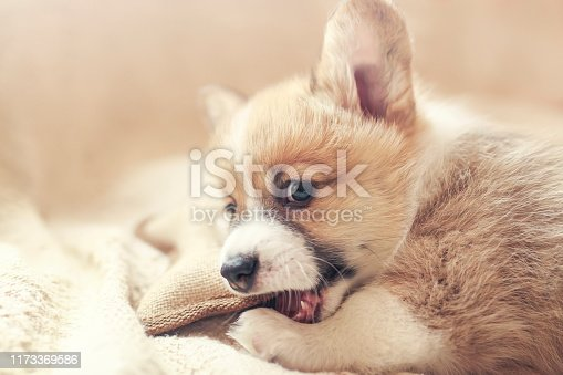 cute little Corgi dog puppy lies in a soft bed and nibbles on a toy