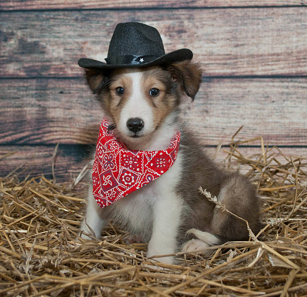 Cute Little Cowboy Puppy stock photo