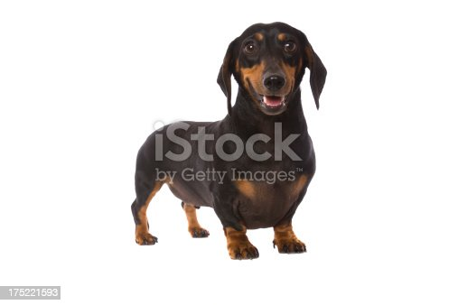 A cute little Dachshund isolated on white.