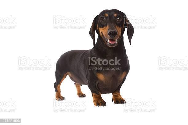 Cute little dachshund picture id175221593?b=1&k=6&m=175221593&s=612x612&h=jxcdrng3maruidugj7z9o5kppiw11kudoa31xo1zywi=