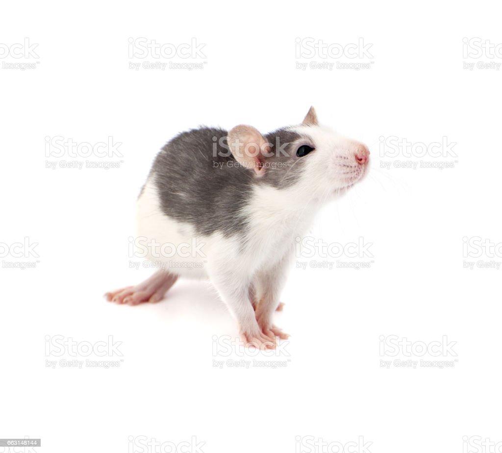Cute little decorative rat on white background. stock photo