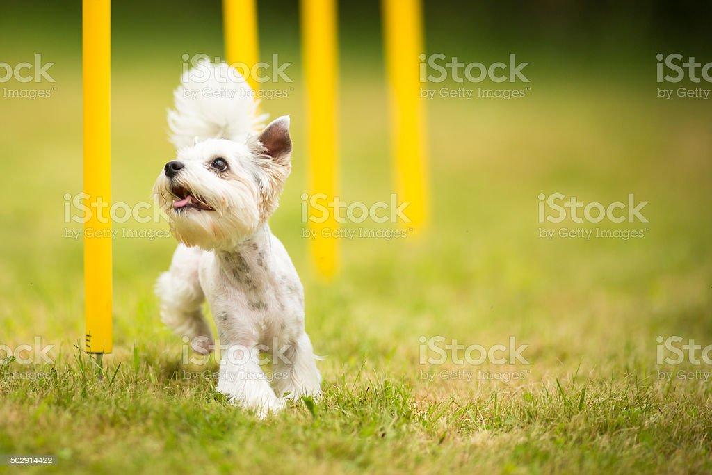 Linda little dog haciendo agilidad de taladro - foto de stock