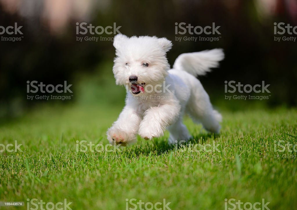 Niedlichen kleinen Hund schnell laufen auf dem Rasen-XXXXXLarge – Foto