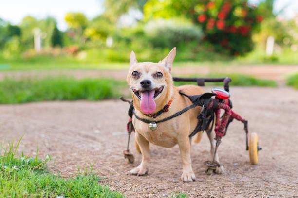 Sevimli küçük köpek tekerlekli sandalye veya çim alanda yürüme arabası. stok fotoğrafı