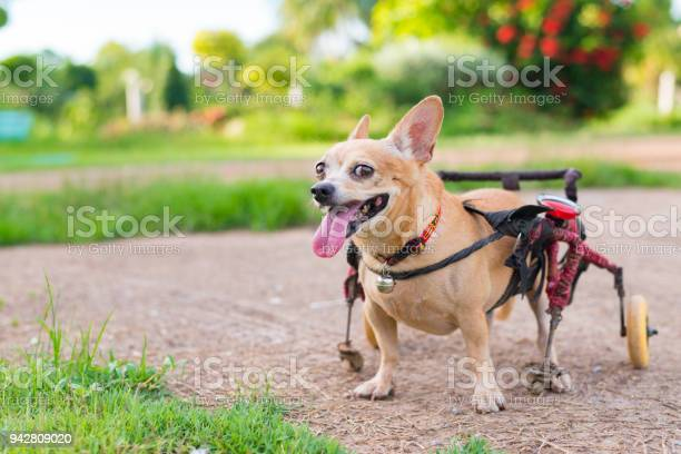 Cute little dog in wheelchair or cart walking in grass field picture id942809020?b=1&k=6&m=942809020&s=612x612&h=wu29as alkwci9yj0e6v173mmsl6xhdfuqg4nlrb2ca=