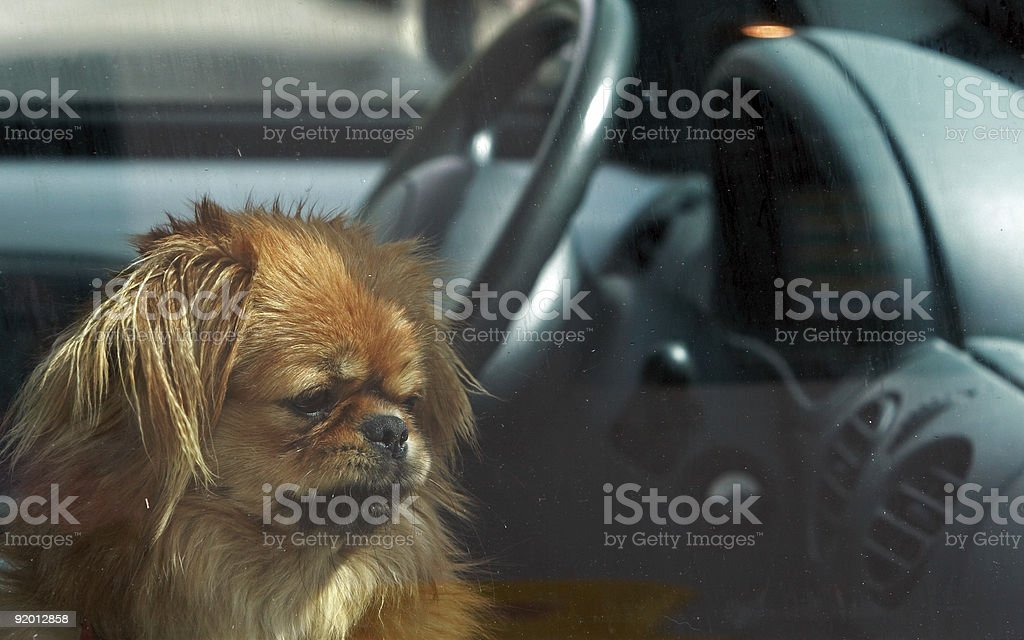 A cute little dog left alone in the car stock photo