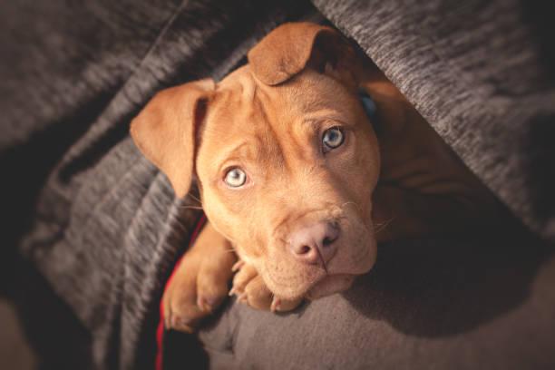 einen süßen kleinen hund von mannes busen - pitbull welpen stock-fotos und bilder