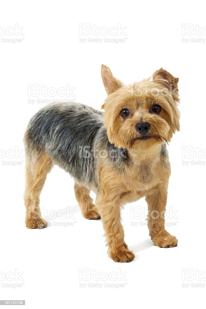 Cute Little Dog Standing Still royalty-free stock photo