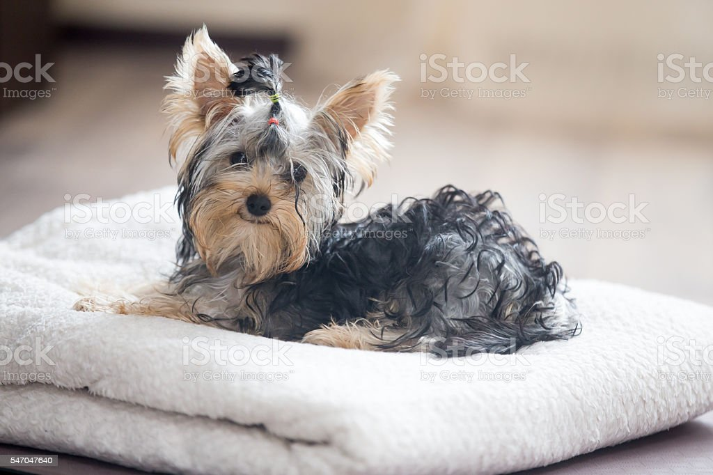 Cute little dog with bow-tie stock photo