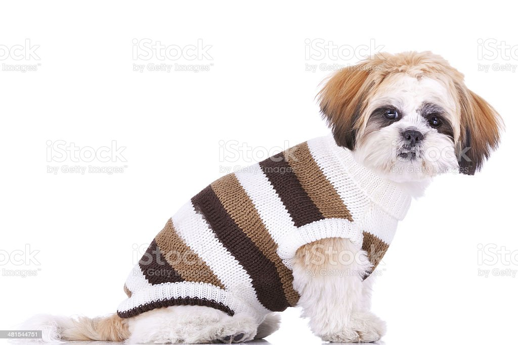 Cute Little Dressed Shih Tzu Puppy Stock Photo Download Image Now Istock