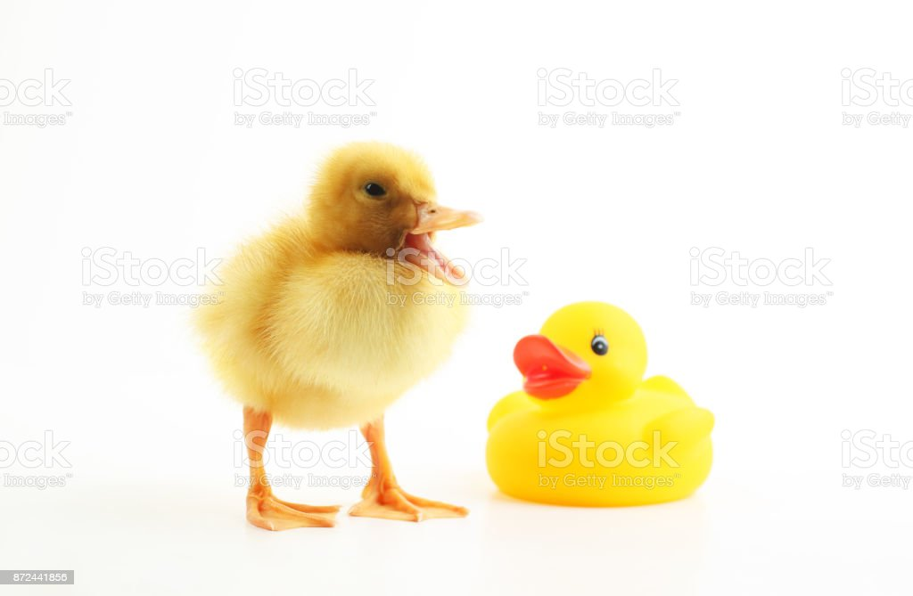 Cute  little duck with the rubber duck stock photo