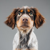 Close up portrait of cute little Epagneul Breton dog against gray background. Puppy of Epagneul Breton looking at camera. Sharp focus on eyes. Square studio portrait.