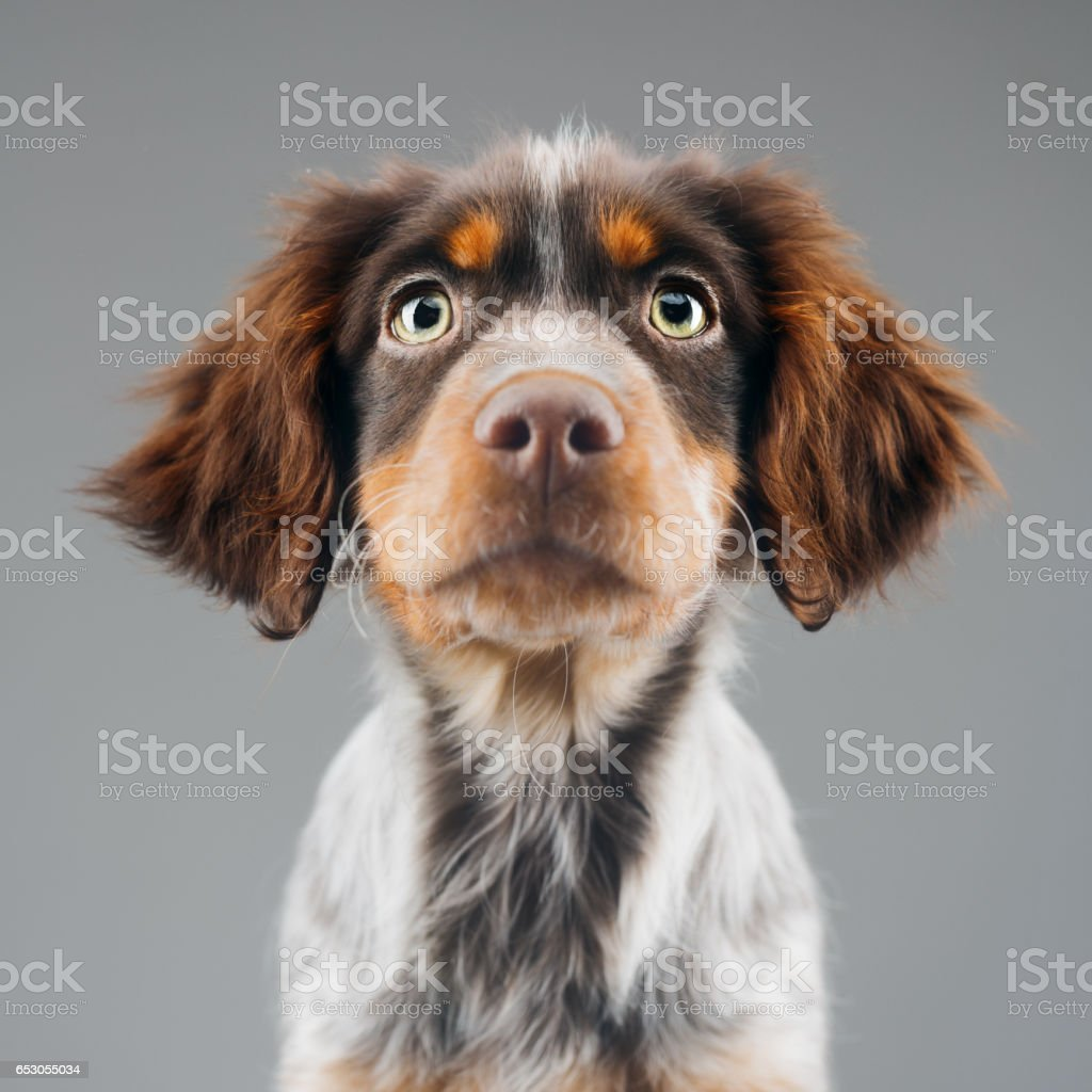 Cute little Epagneul Breton dog portrait stock photo