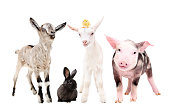 Cute little farm animals standing isolated on white background